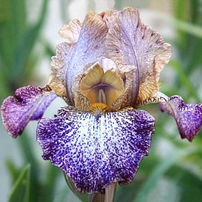 Iris Dots And Splashes