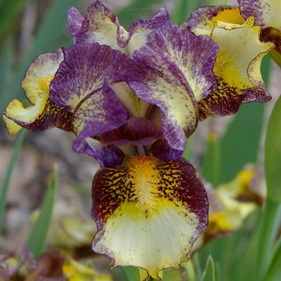 dwarf bearded iris banded tiger