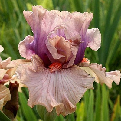 Tall bearded iris Pretty As A Picture